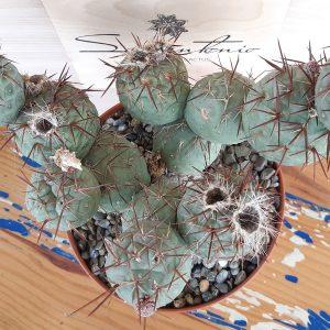 Opuntia_tephrocactus