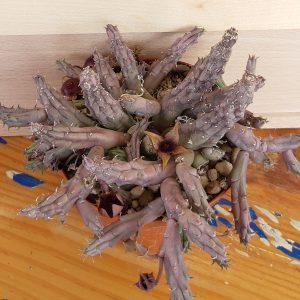 huernia procumbens